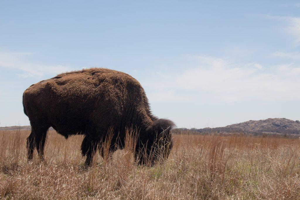Wichita Mountain Wildlife Refuge's Bison trail is a great longer trail in southwest Oklahoma with plenty of views and a few bison if you're lucky! | Teaspoon of Nose
