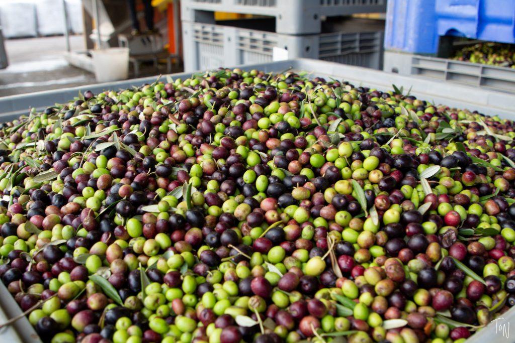 Want a classic Italian experience? Visit my favorite olive oil farm: Bonamini frantoio, just outside Verona.